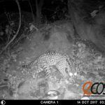 Descubren hábitat de ocelote en Chih; 3° felino más grande en México