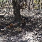 Incendio acabó con bosque del tamaño de Acapulco y rescataron una osa