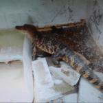 Sin destino aún el cocodrilo chiapaneco atrapado en vivienda en Juárez