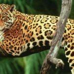 Más de 2 mil jaguares en peligro por el Tren Maya