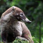 No es posible que coatíes vivan en el municipio de Chihuahua de manera salvaje: Profepa