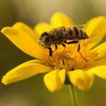 Pérdida de abejas: el gran reto. México, 3er exportador mundial de miel